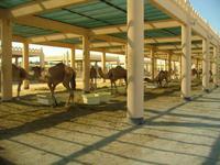 Bahrain (Besuch einer Kamelfarm)