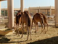 289 Bahrain - königliche Kamelfarm