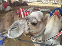377 Kamelmarkt Al Ain