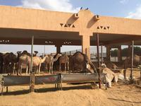387 Kamelmarkt Al Ain