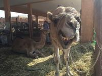 395 Kamelmarkt Al Ain