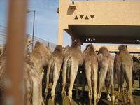Auf dem Kamelmarkt