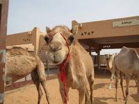 Al Ain - Kamelmarkt
