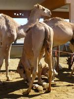 Al Ain Kamelmarkt