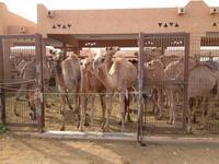 0294 auf dem Kamelmarkt in Al Ain