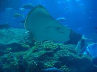 im Aquarium ... irgendwie niedlich, so ein Rochen