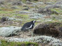 Magellan-Pinguin beim Sonnen