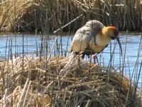 Patagonien - Estancia El Galpon del Glaciar, Vogelbeobachtung: Ibis