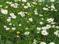 Enzianbrennerei Grassl - Blumenwiese