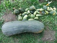 Heute ist Kürbis- und Zucchiniernte