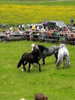 Reise ins Brixental/Tirol - Hengstauftrieb Aschau