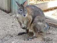 192 Sydney - Featherdale Wildlife Park - Wallaby
