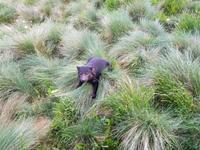 Tasmanischer Teufel im Cradle Mountain Nationalpark