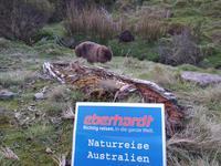 Wombat posiert fürs Foto im Cradle Mountain Nationalpark