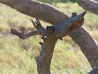 Baum am Wegrand zu Olgas - gleich einem Hirschen