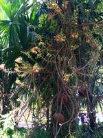 Kanonenkugelbaum