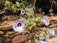 Alice Springs (Wüstenrose)