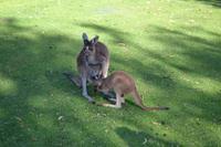 Yanchep-Nationalpark - Besuch bei den Koalas und Kängurus