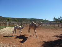 Outback - Kamelfarm