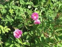 Rosen zur Rosenölherstellung