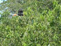 156 Pantanal - Tucan