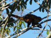 157 Pantanal - weiblicher Brüllaffe