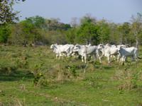 Rinderherde im Pantanal