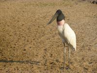 Storch im Pantanal