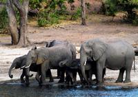 Chobe NP - Elefanten