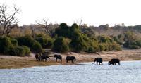 Chobe NP - Elephant Walk