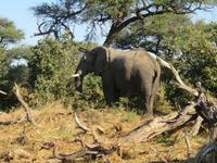 Pirschfahrt  in der Mababe Konsesion