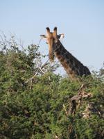 Fahrt nach Maun - Giraffen