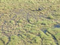 Flug über das Okawango-Delta - Elefant