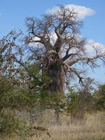 Fahrt nach Nata - Pause in der Planet Baobab Lodge - tausendjähriger Baobab