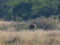 Pirschfahrt im Hwange Nationalpark - Strauß