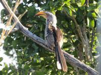 Pirschfahrt im Hwange Nationalpark - Gelbschanbeltoko