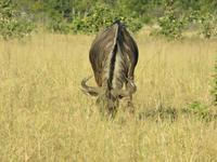 Pirschfahrt im Hwange Nationalpark - Gnu