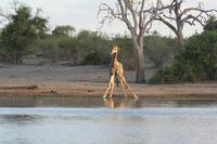 Giraffe in Vorbereitung zum Trinken