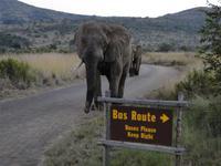 Elefant auf Busroute?