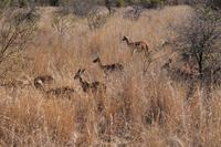 Impalas im Buschfeld