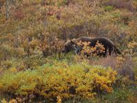 Tagestour in den Denali-Nationalpark - Grizzly
