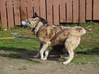 Tagestour in den Denali-Nationalpark - Kantishna Roadhouse Schlittenhunde
