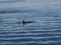 Ausflug Icy Strait Point - Orcas