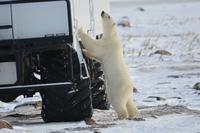 Eisbär 8