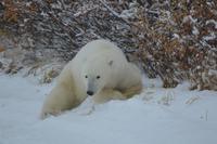 Eisbär 13