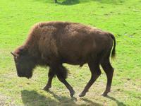 Omega Wildpark Bison