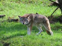 Omega Wildpark Kojote