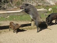 Omega Wildpark Wildschweine