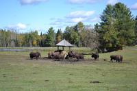 Fahrt durch den Omega-Wildpark - Bisons