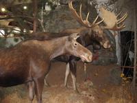 Algonquin Park - Elche (Moose) in der Ausstellung des Besucherzentrums
